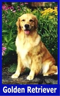 Golden Retriever Blue Border